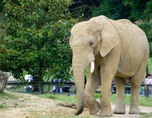 éléphant de Be